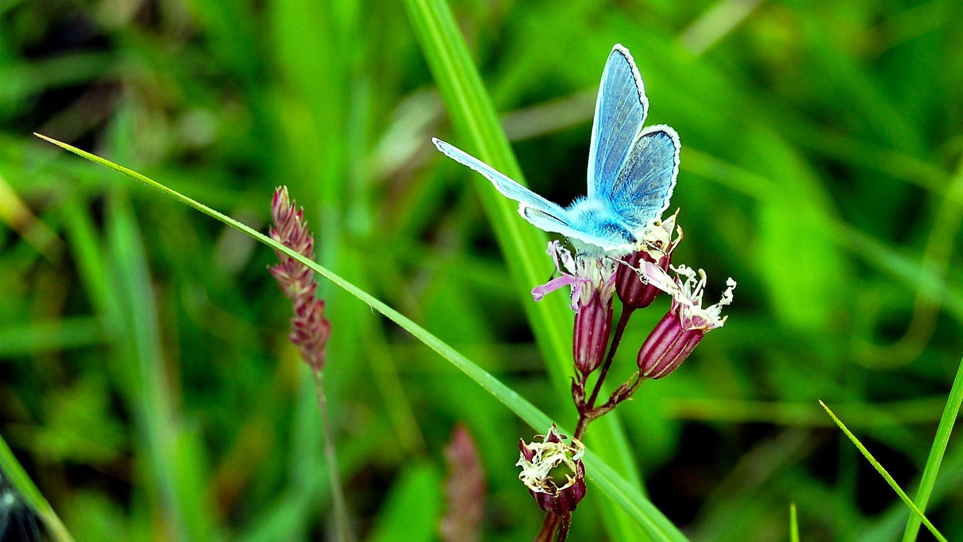icarusblauwtje vlinder